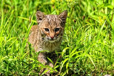 Baby bobcat in Oil Creek State Park